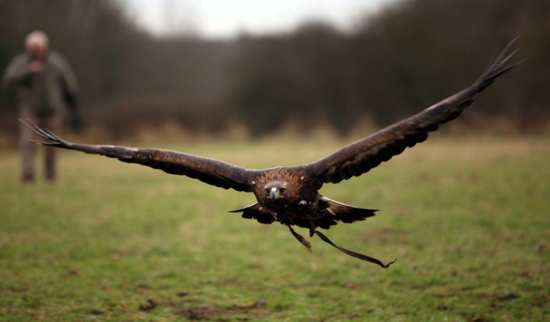 Orel skalní útočí na volavku popelavou
