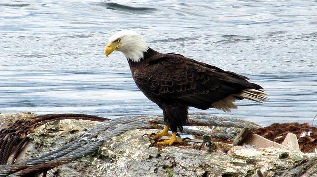 bald-eagle-21144_640
